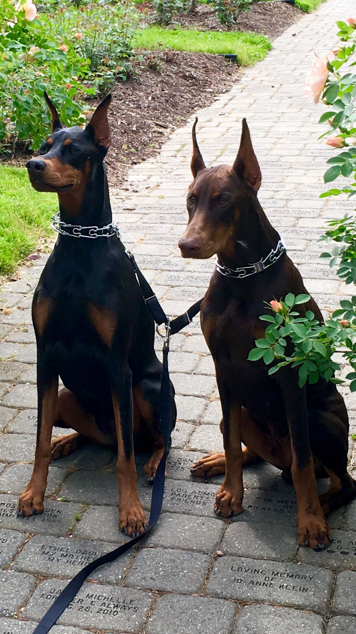 Sophie Sarge Posing For A Pic Doberman Dogs Doberman Pinscher Doberman Pinscher Blue