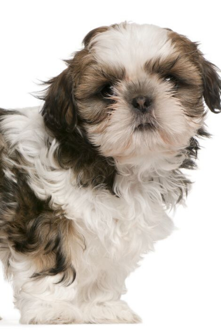 Shih Tzu Puppy 9 Weeks Old Standing In Front Of White Background