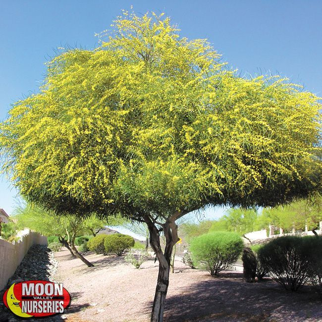 Drought Tolerant Trees, Desert