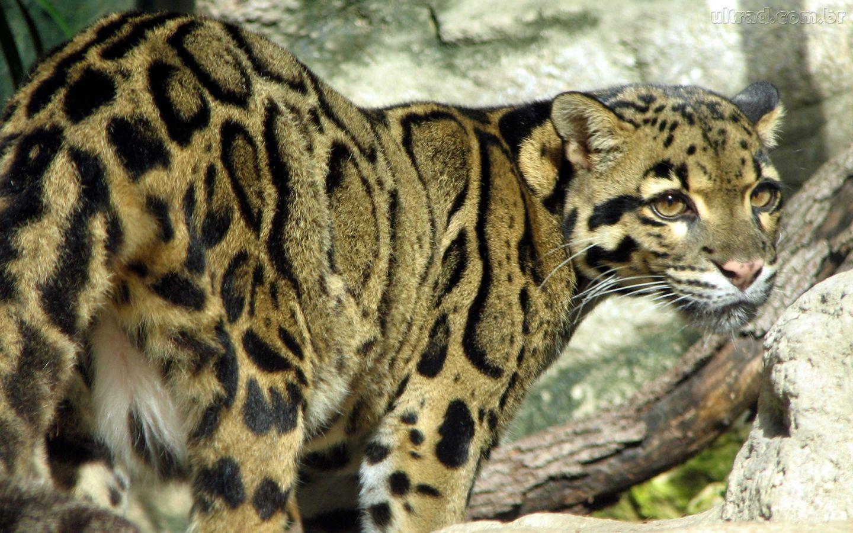 Leopardo-Nebuloso   Clouded leopard, Big cat species ...