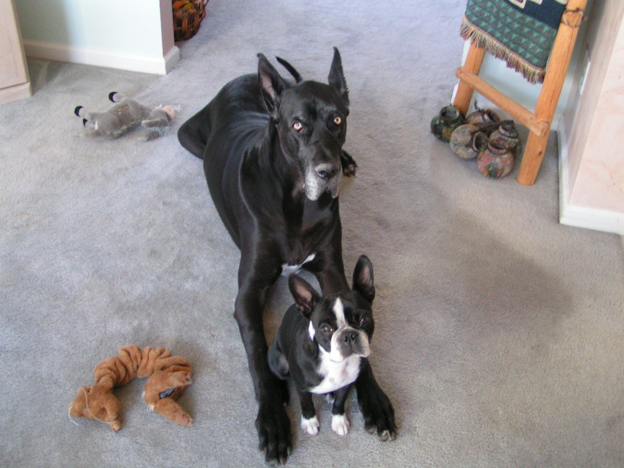 Inseparable Great Dane And Boston Terrier Doggy Cute Animals