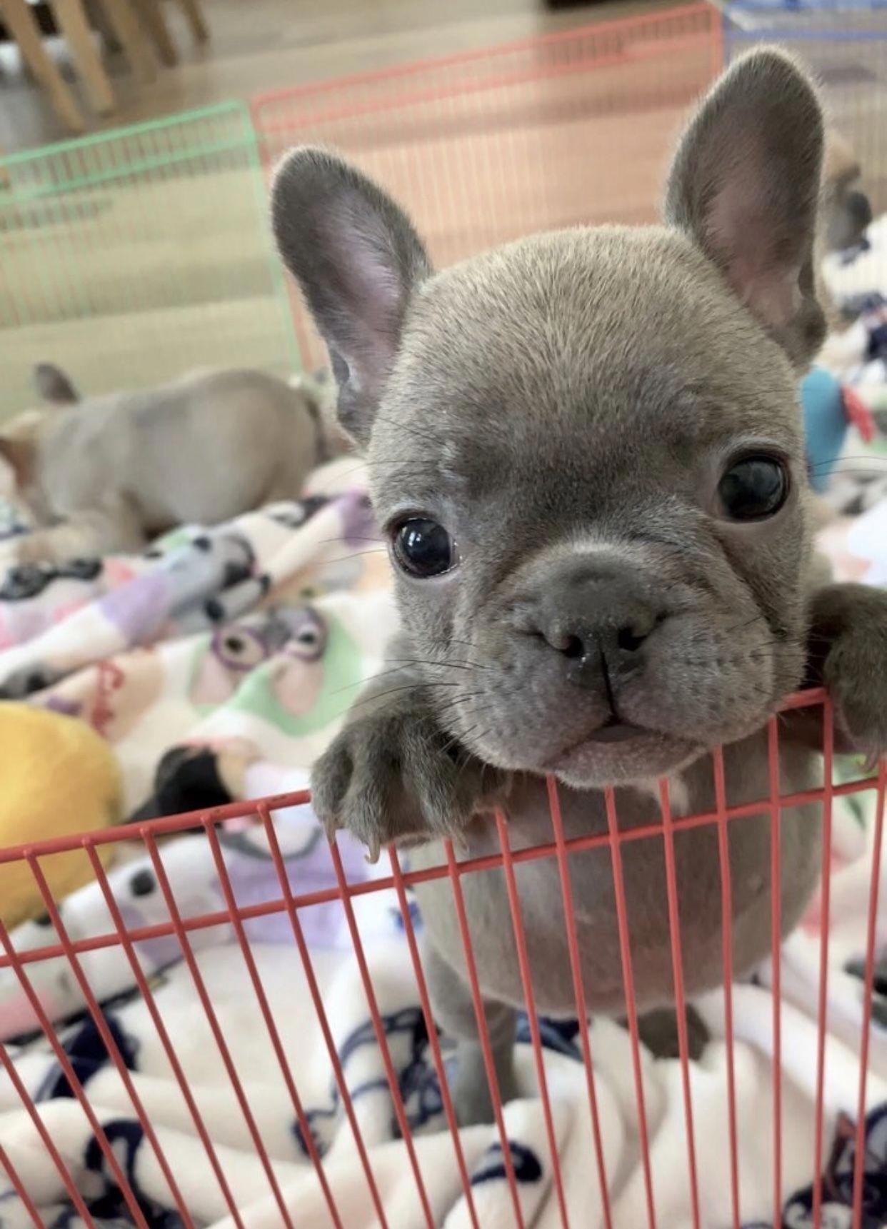 French Bulldog Facts Cute Funny Animals Cute Baby Animals Cute
