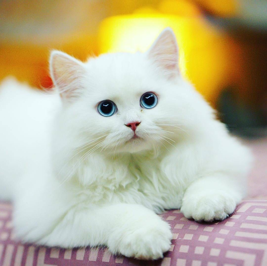 What A Beautiful White Kitty With Such Blue Eyes
