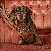 Maltese Puppy For Sale In Las Vegas Nv Adn 64146 On Puppyfinder