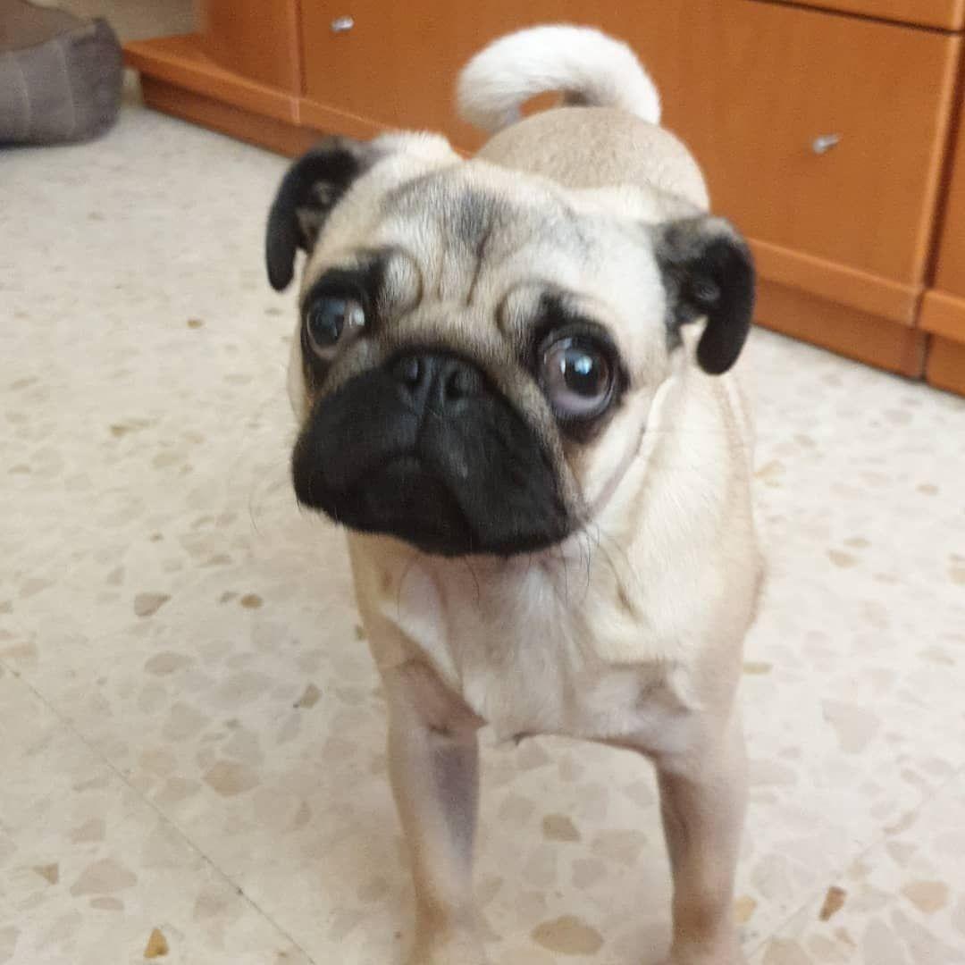Pug Carlino Perros Pugs Pugnation Puglover Puglifestyle Dog