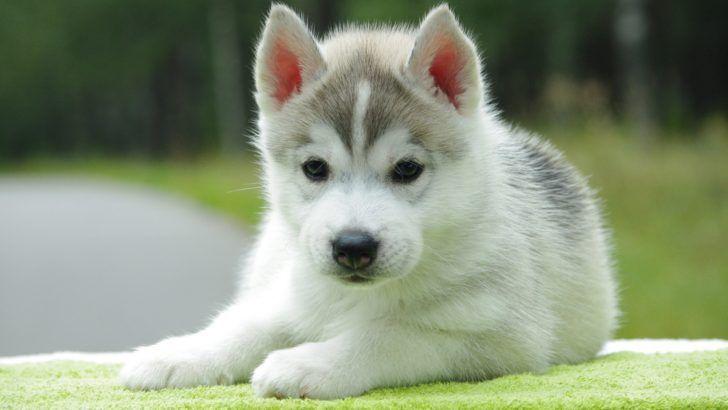 The Domestic Dog Baby Husky Baby Huskies Wallpapers On