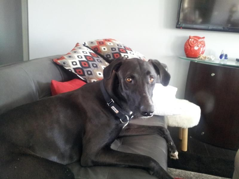 Meet Freedom, a Petfinder adoptable Greyhound Dog | Topeka, KS | FreedomMaleGreyhound/Labrador Mix2 years oldThis hunk o' burnin' lover boy Freedom is waiting...