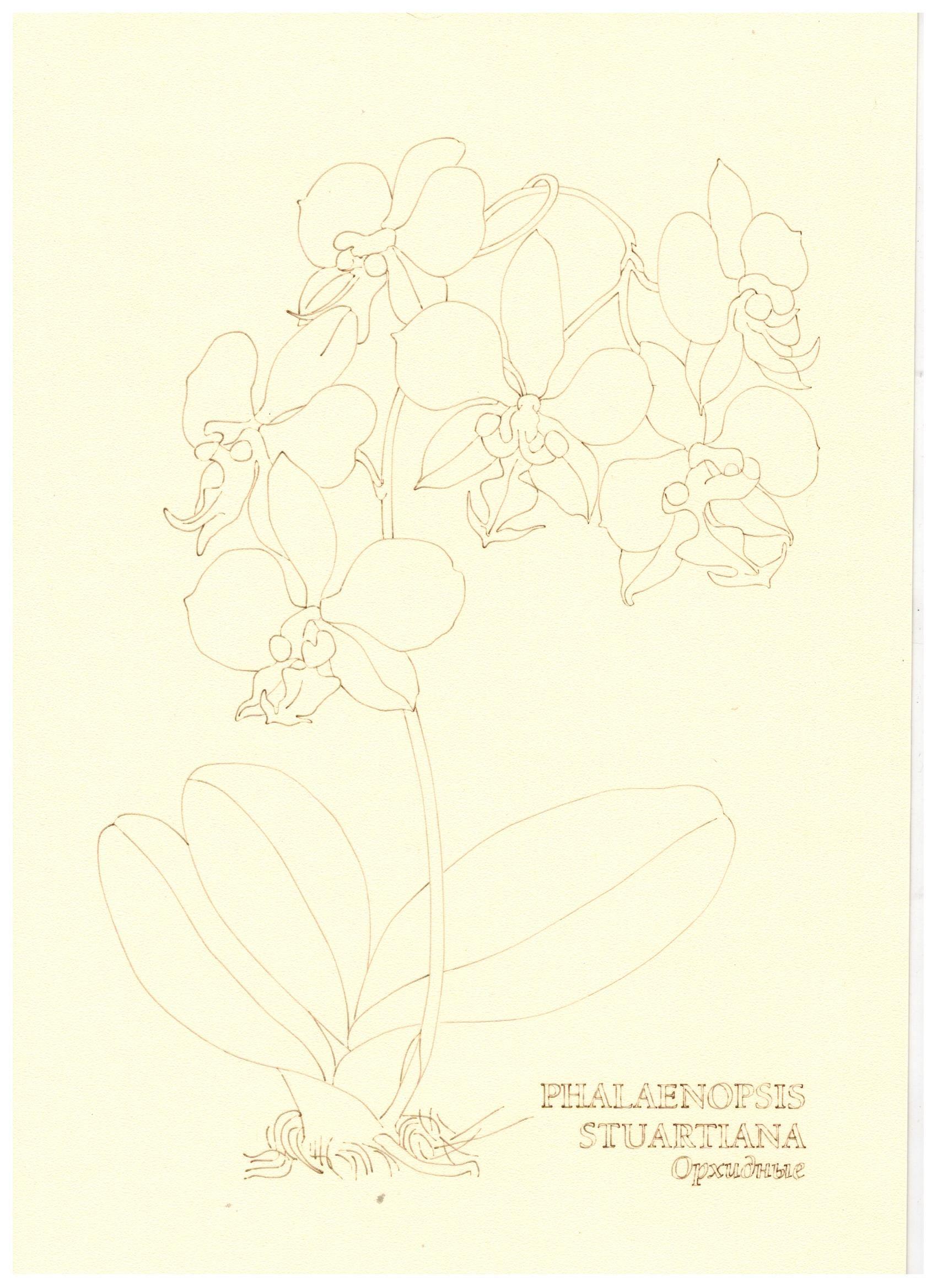 Заготовка раскраски орхидеи   Ботанические рисунки ...