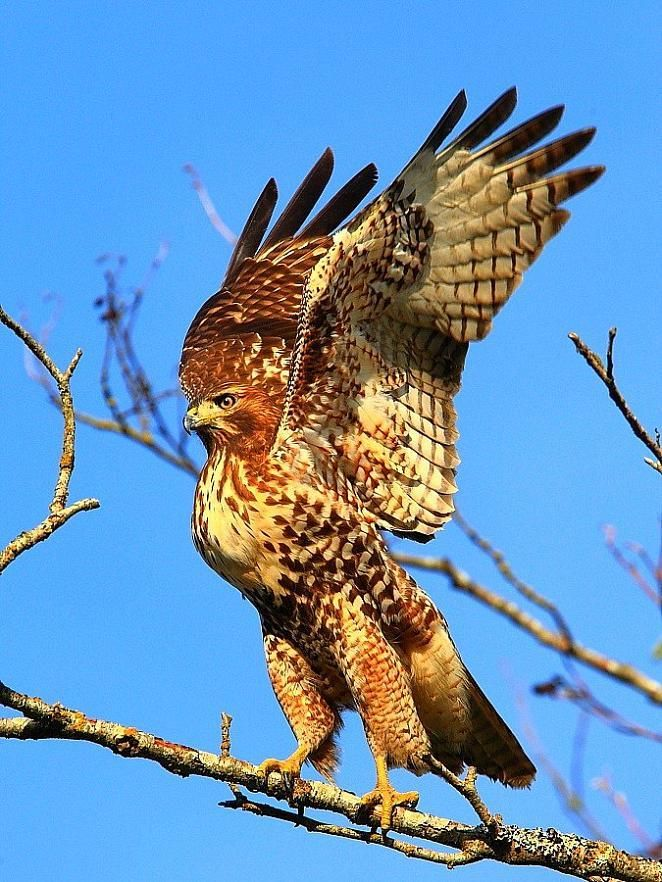 The Red Tailed Hawk Buteo Jamaicensis Is A Bird Of Prey One Of