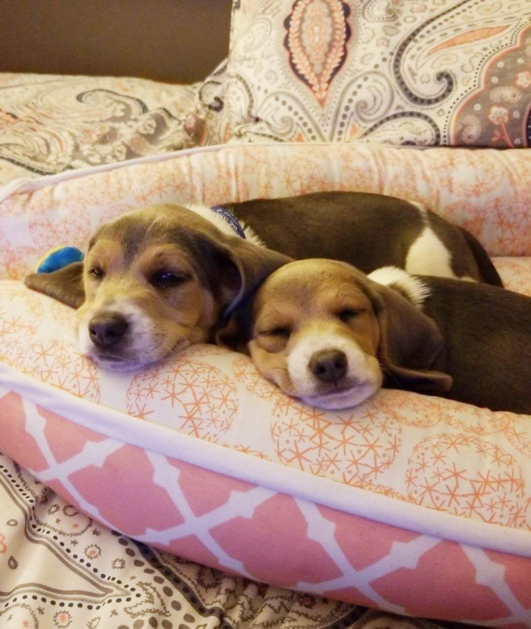 Adopted These Two Beagle Babies This Weekend Reddit Meet Conan