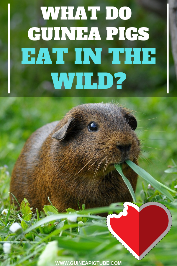 What Do Guinea Pigs Eat In The Wild | Guinea Pig Food and