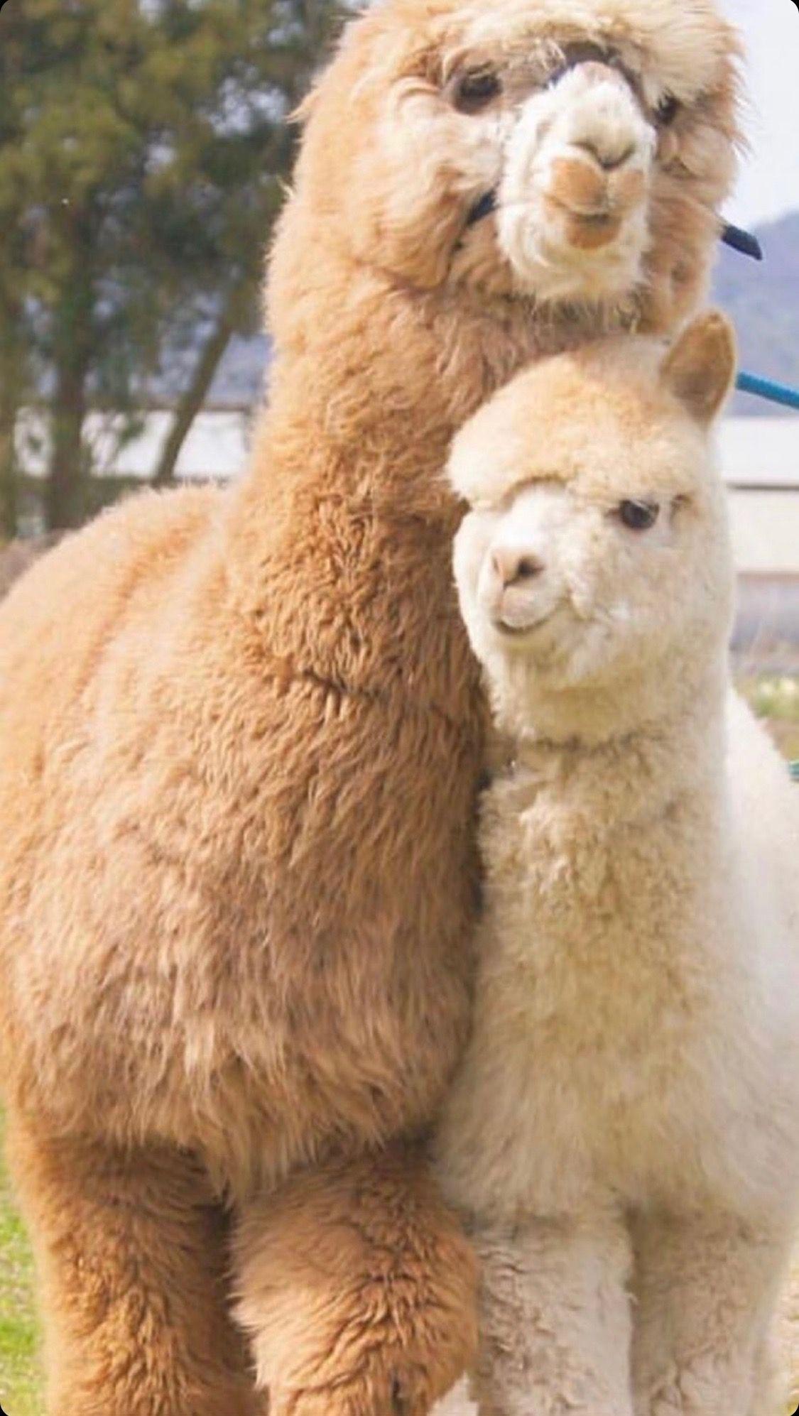 Happy Alpacas Posing For Pictures Cute Animals Animals