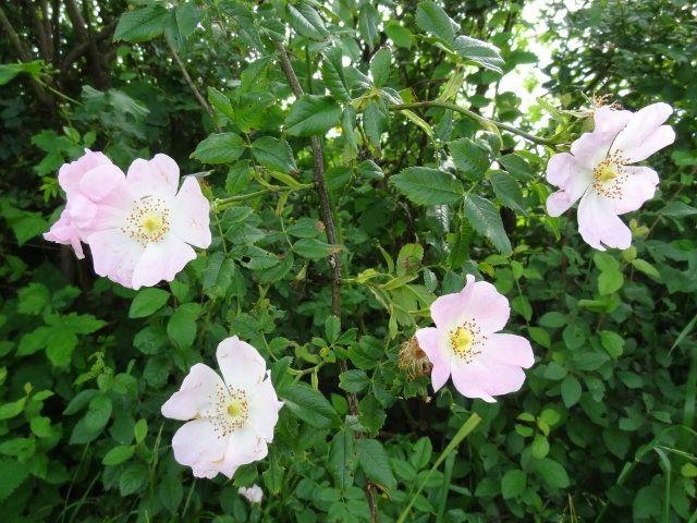rosa canina strandnypon