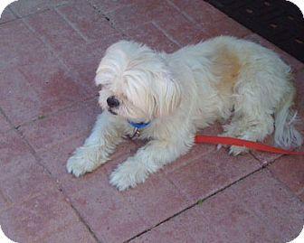 Sarasota Fl Shih Tzu Mix Meet Bentley A Dog For Adoption