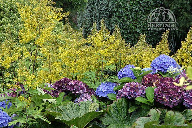 Design Tips Archives Perennial Gardening Hydrangea Care Propagating Plants Pruning Hydrangeas