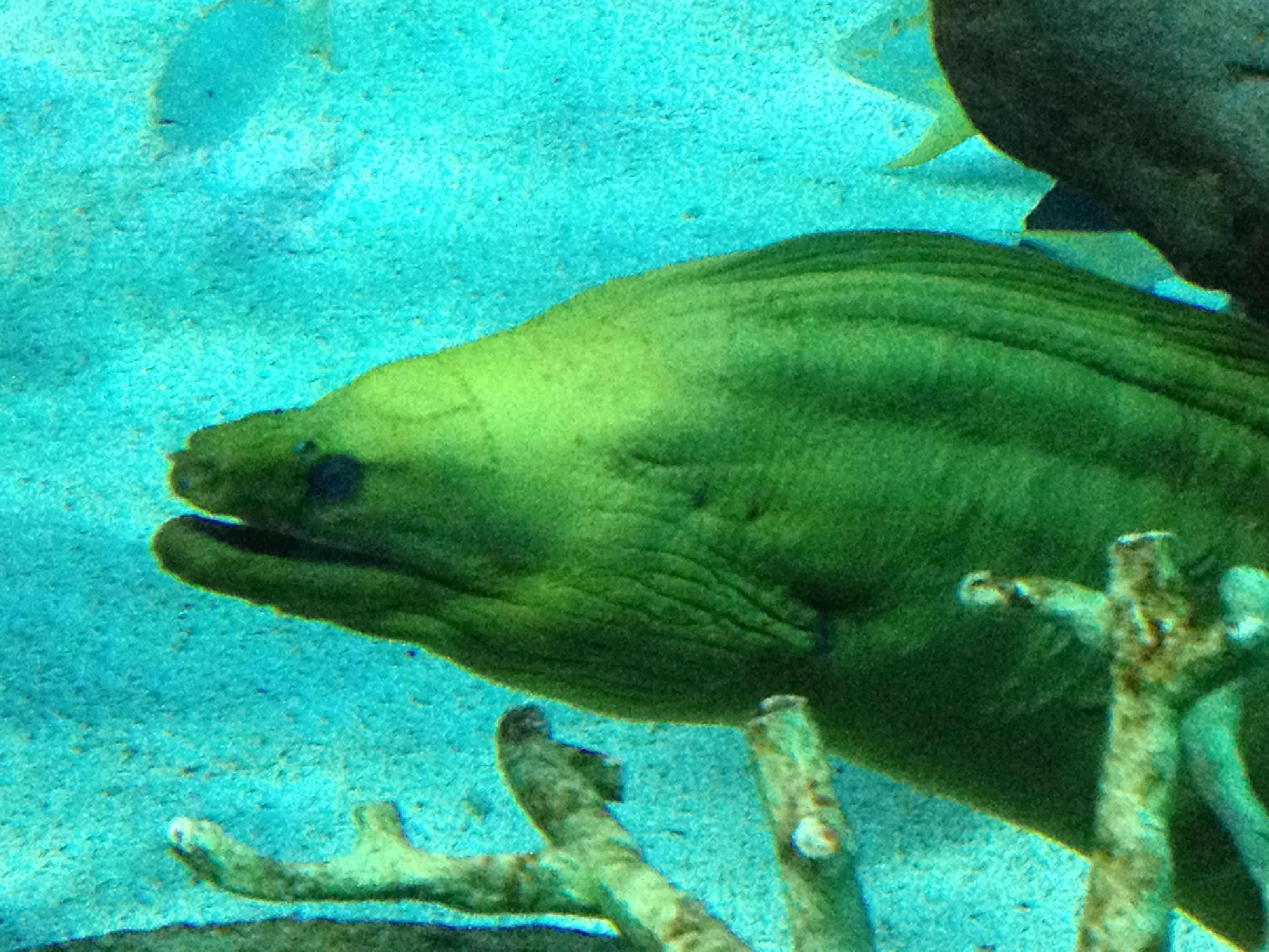 Morray Eel Ripleys Aquarium In Myrtle Beach
