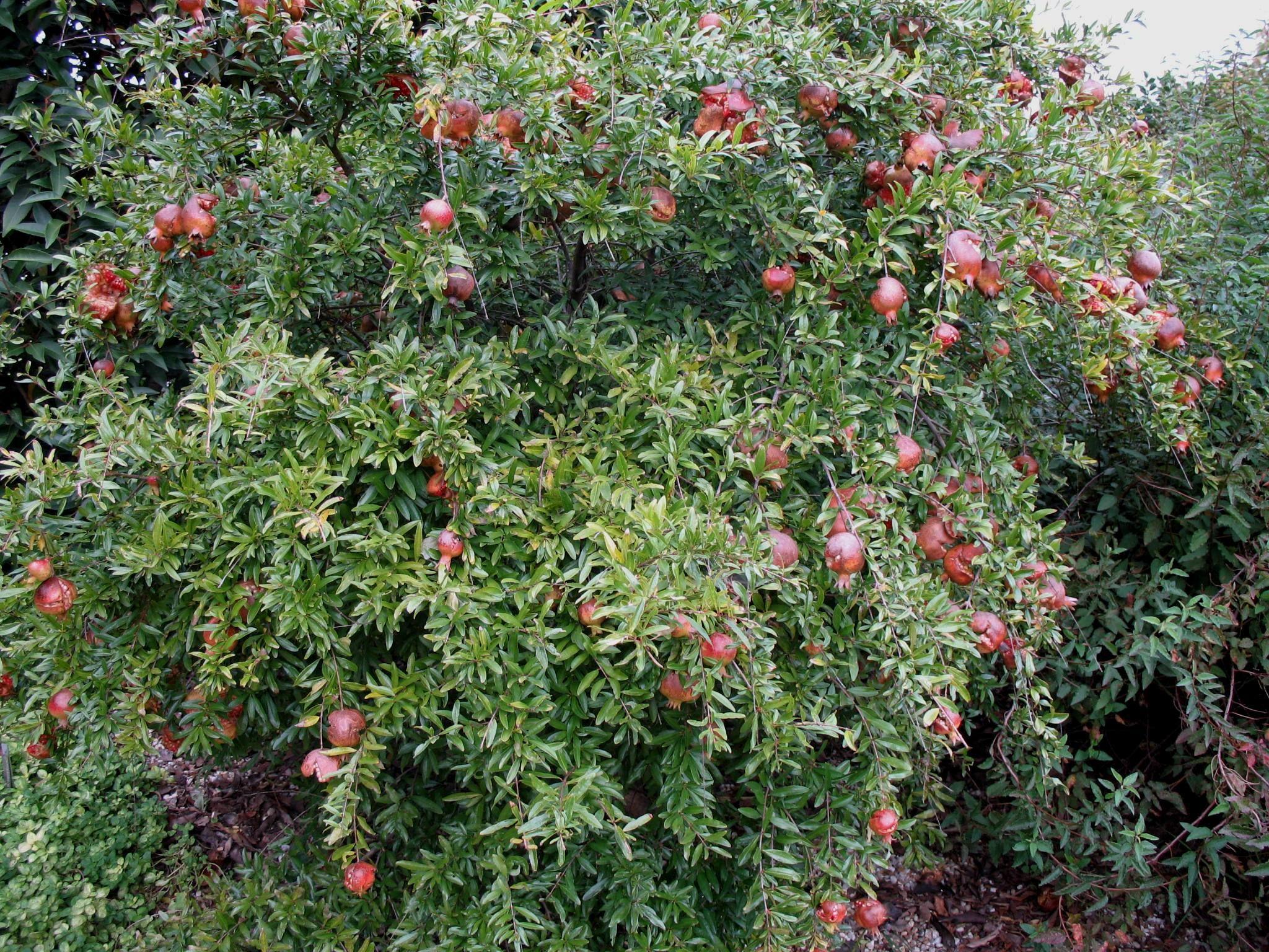Punica Granatum Pomegranate Manual Guide