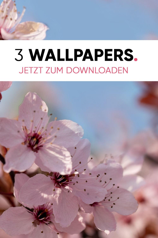 Kirschbluten Wallpaper Als Kostenloser Download Freebie Kirschbluten Kostenlose Hintergrundbilder Furs Handy Kirschblute Wallpaper
