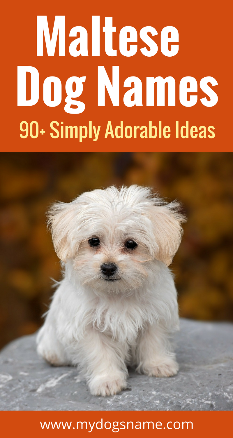 The Ultimate List Of Maltese Dog Names Discover 90 Adorable Playful And Fun Ideas For Your New Fluffy Furbaby Maltese Dogs Dog Names Teacup Puppies Maltese