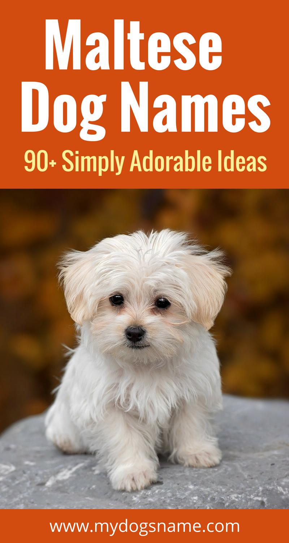 Maltese Dog Names 99 Adorable Ideas