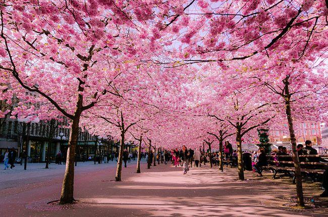 5 Cerisier Cherry Blossoms Japon Sakura Spring Japon Des Cerisiers