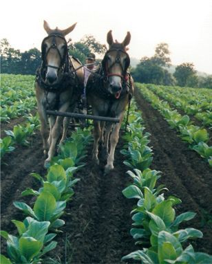 We used mules in the tobacco fields from planting to gathering the crop.