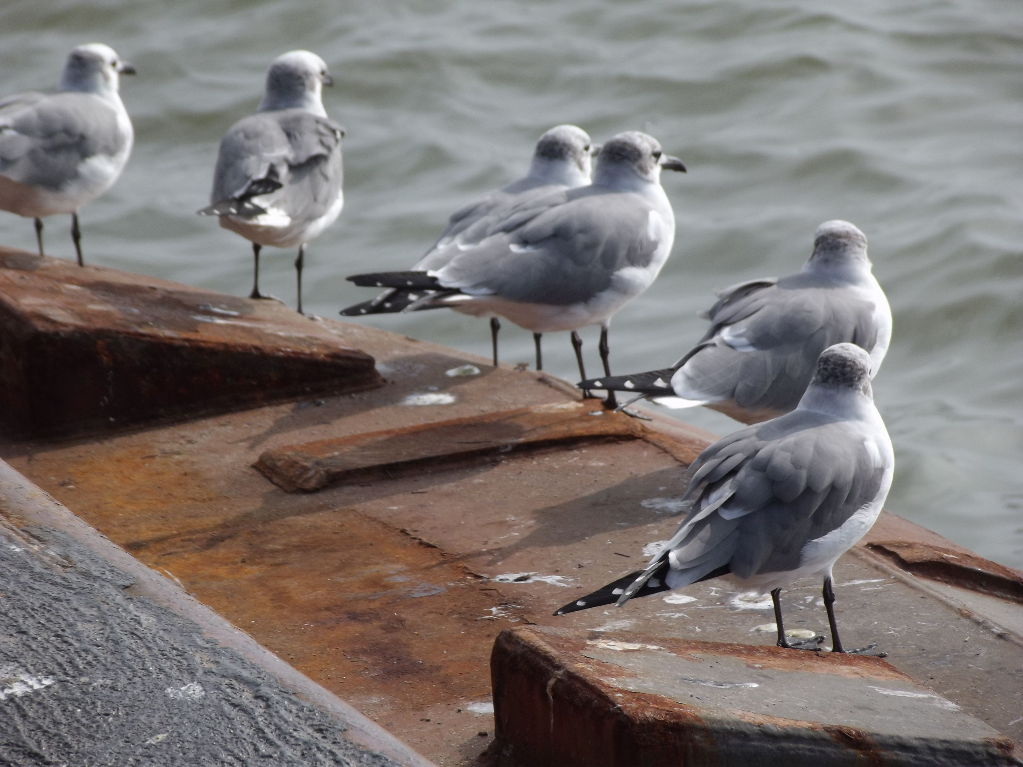 Seagulls at Galveston