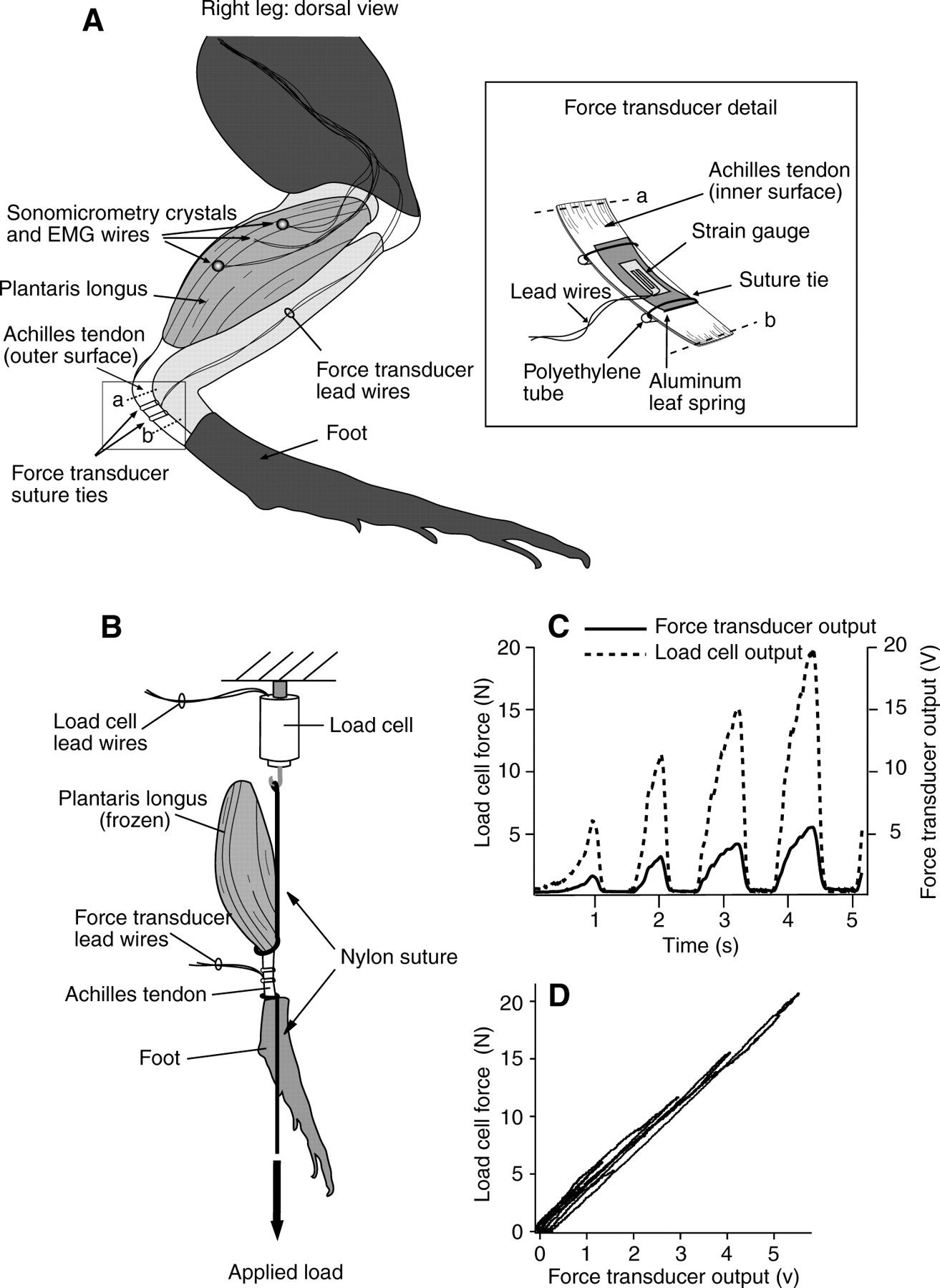 Frog Muscle Anatomy Modulation Of In Vivo Muscle Power Output During ...