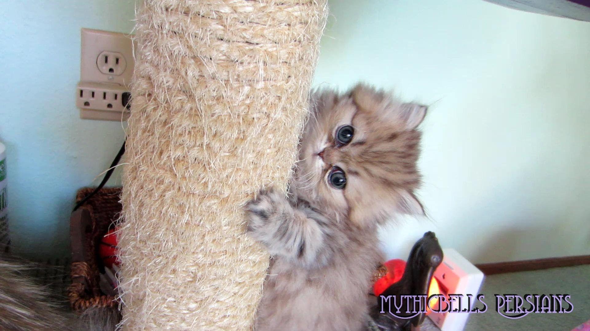 12 07 18 Persian Kitten Kemo Sabe At Play Persian Kittens Kitten Persian Beauties