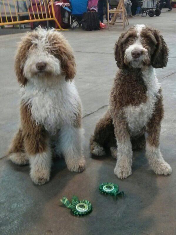 Bruna I Fiona Spanischer Wasserhund Hunde Tiere