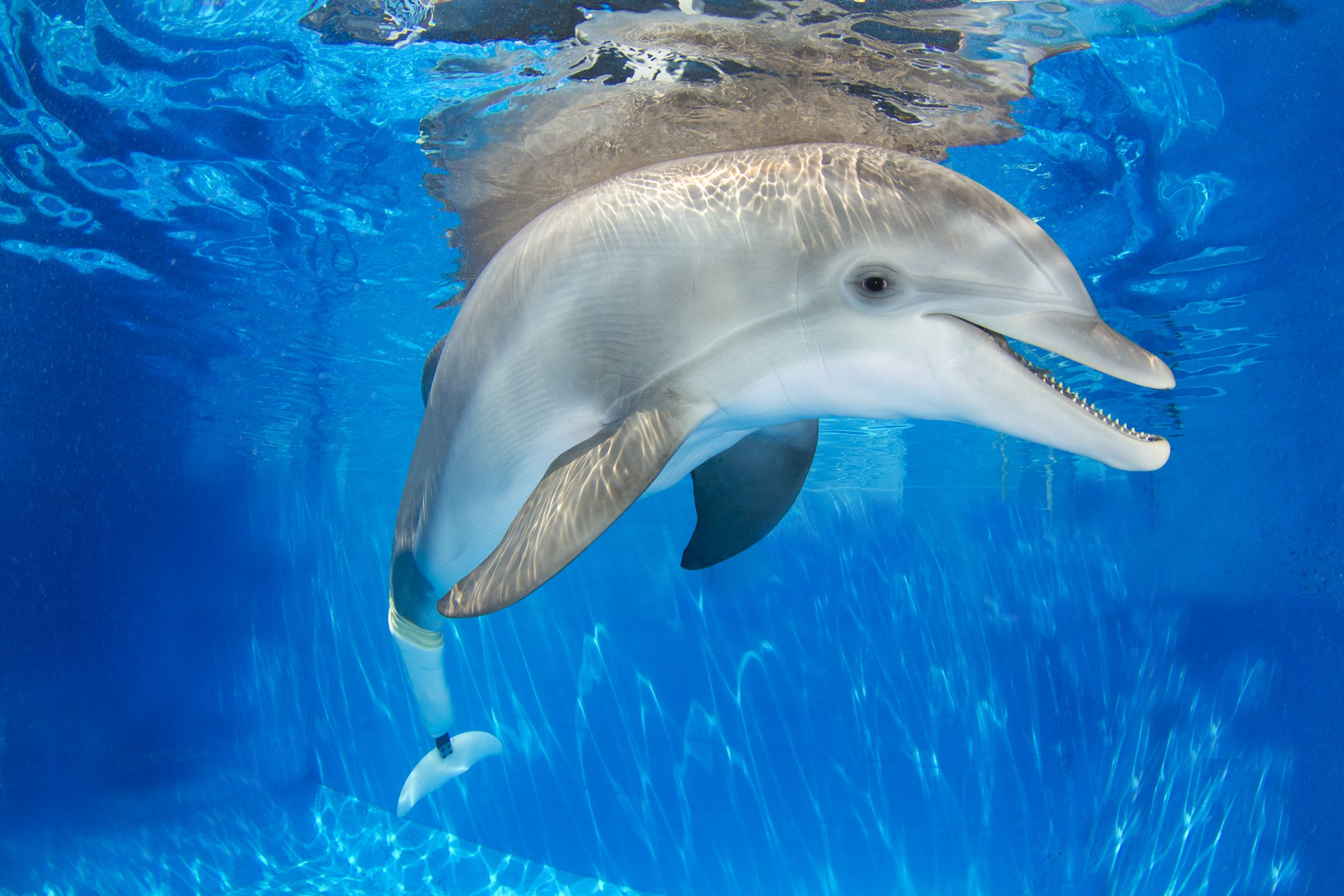 Winter dolphin at Clearwater Marine Aquarium.  www.seewinter.com  Photo credit: CMA