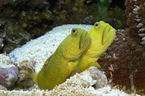 Yellow Watchman Goby Saltwater Fish Tanks Goby Fish Marine Fish