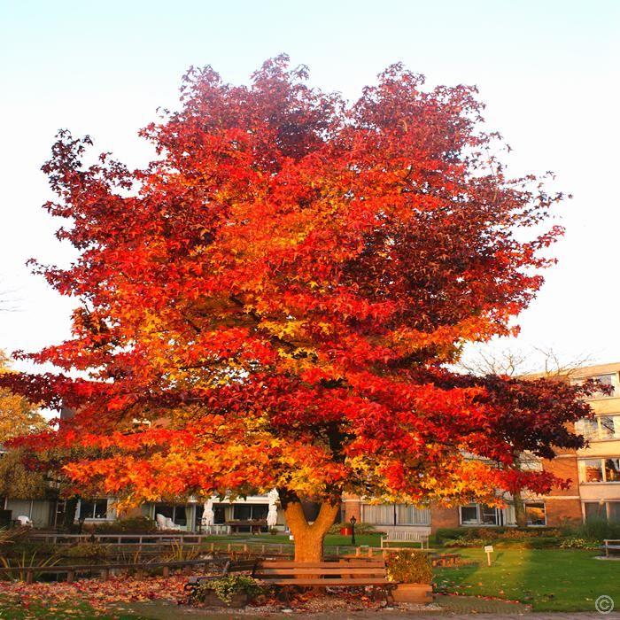 amberbaum 1 strauch g nstig online kaufen bestellen sie schnell und bequem online gardening. Black Bedroom Furniture Sets. Home Design Ideas