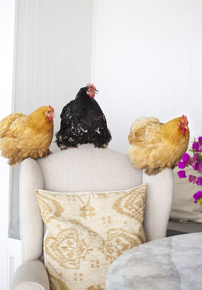 VERY BRAVE or VERY STUPID - I would not put chickens on a light upholstered chair (or any chair, in my house)