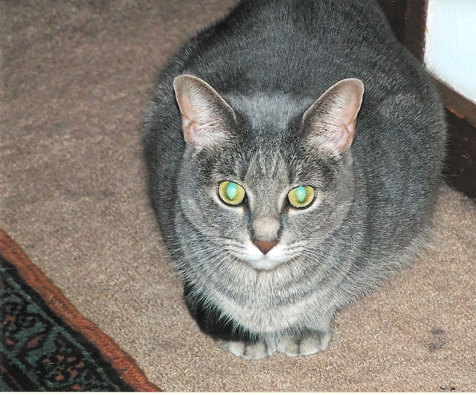 Our gray tabby cat look at those eyes Grey tabby cats