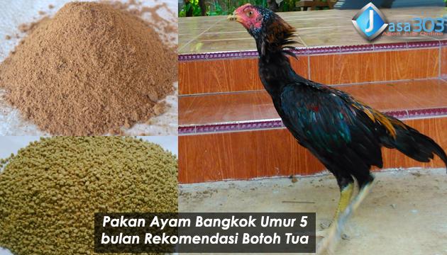 Pakan Ayam Bangkok Umur 5 Bulan Rekomendasi Botoh Tua Sabung