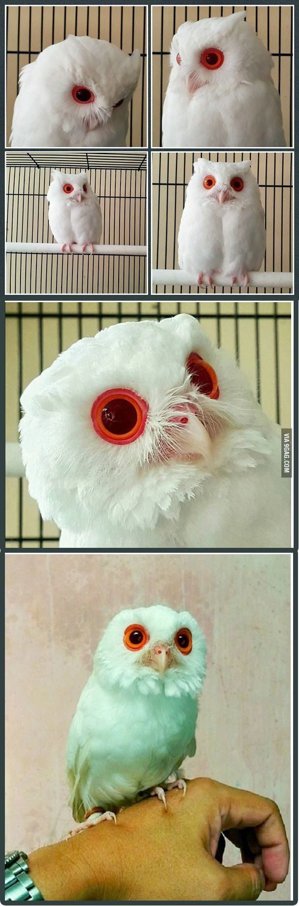 Photo of Owl albino with red eyes.