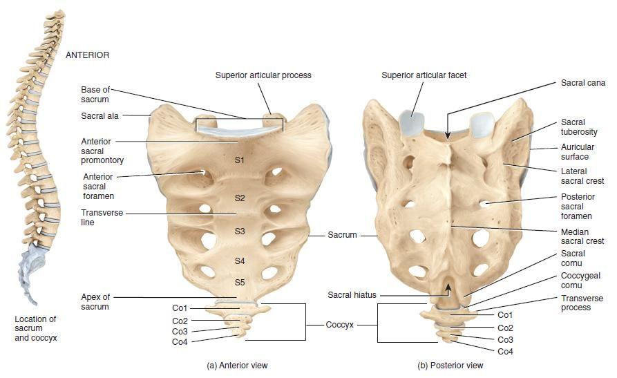 Sacrum Bone Anatomy | Bone and Spine | Pilates | Pinterest | Anatomy ...