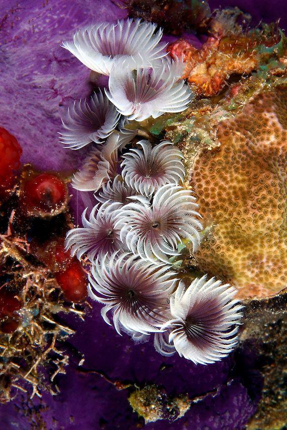 Feather Duster Worms Bispira Brunnea Beautiful Sea Creatures Under The Sea Ocean Creatures