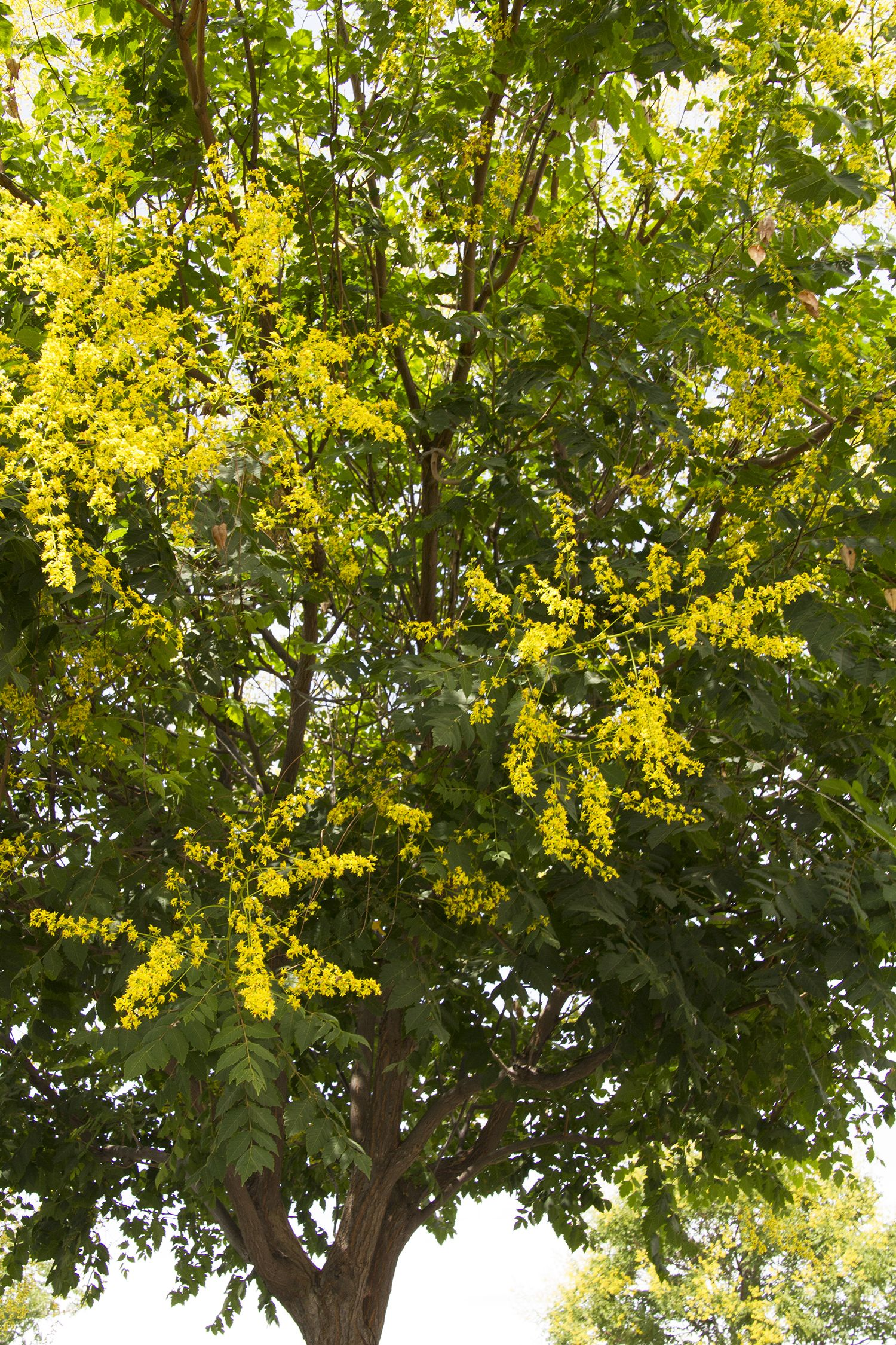 Golden Rain Tree - Feed with a general purpose fertilizer before new ...