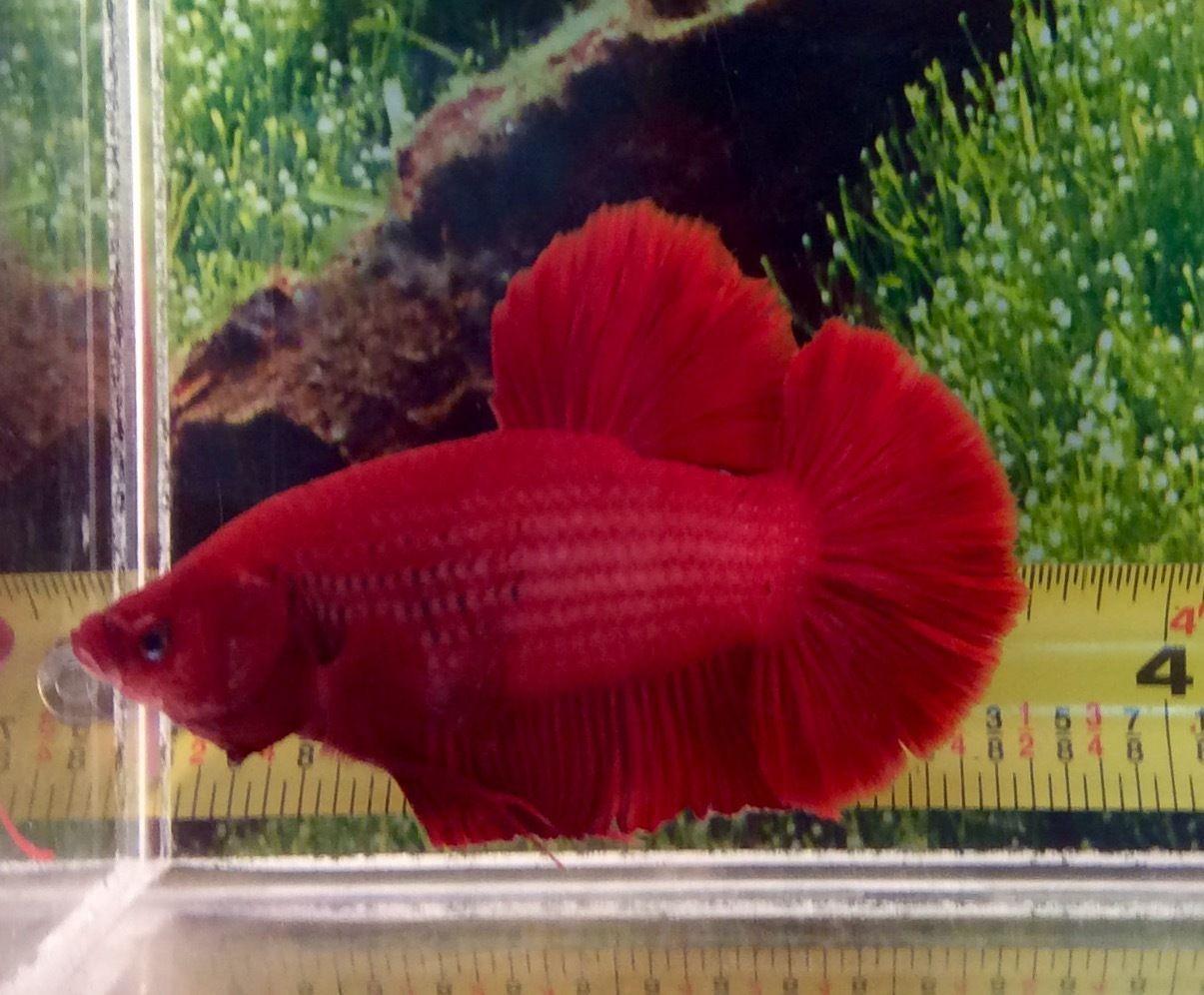 2 Thai Import Fancy Full Red Male GIANT Halfmoon Plakat HMPK Betta ...