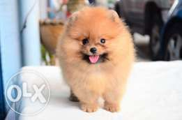 Pomeranian Sable Female Pets For Sale Pets Animal Lover