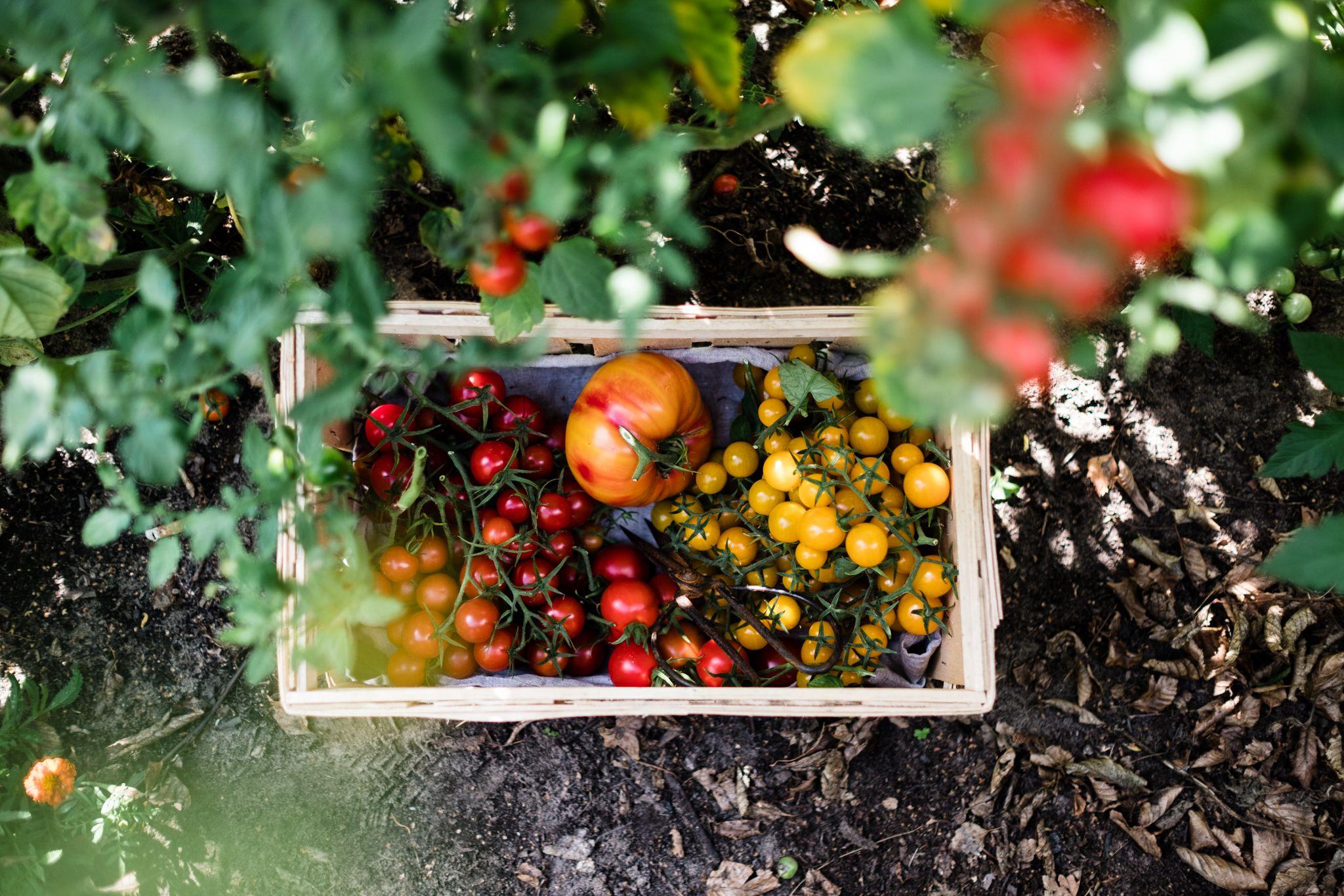 Tomaten Vermehren Pflegen Ernten Teil 1 Saatgutgewinnung Tomaten Anbauen Gemuseanbau Und Gemuse Anbauen