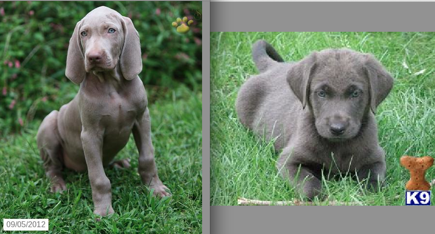 Weimaraner puppy vs  Silver Labrador puppy    both cute but very