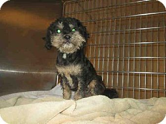 Maryland Heights Mo Miniature Schnauzer Poodle Miniature Mix Meet Mazzy A Dog For Adoption I M Being Cared For By H Pets Kitten Adoption Schnauzer Mix
