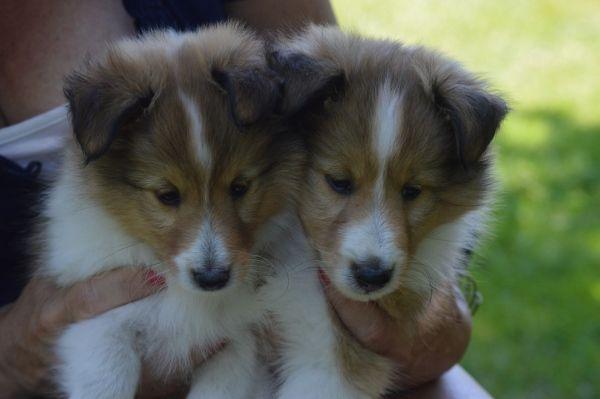 Shetland Sheepdog Puppies Ny Sheltie Puppies For Sale Ny Sheep Dog Puppy Sheltie Puppies For Sale Shetland Sheepdog Puppies