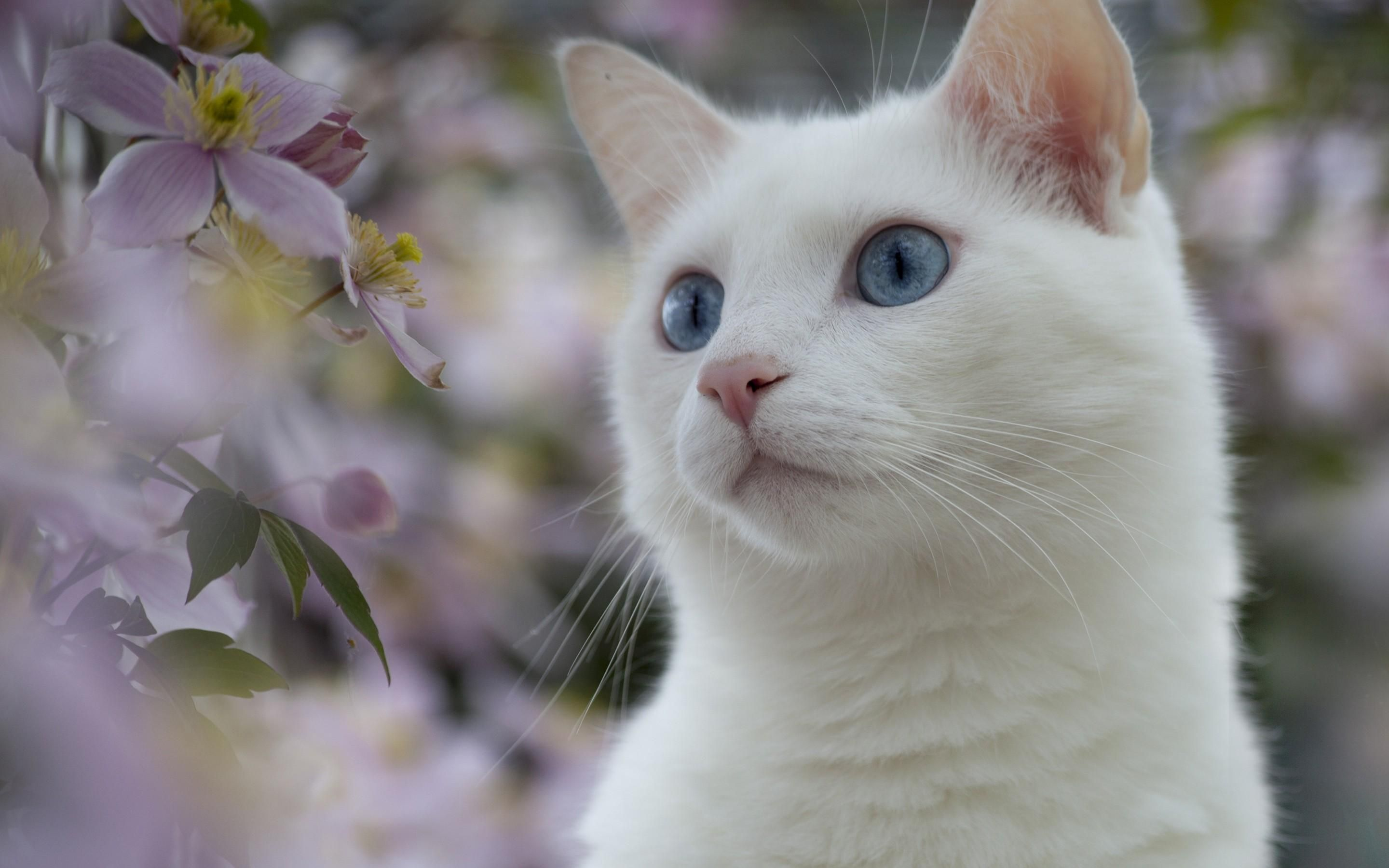 white cats White Cat HD Wallpaper, White Cat Pictures