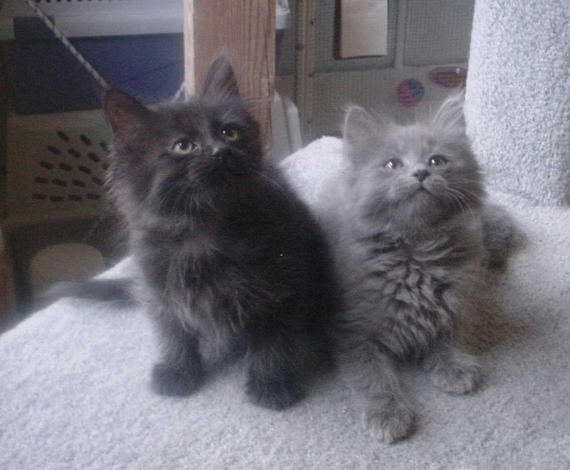 Chantilly Tiffany Kitten Chantilly Tiffany Cats