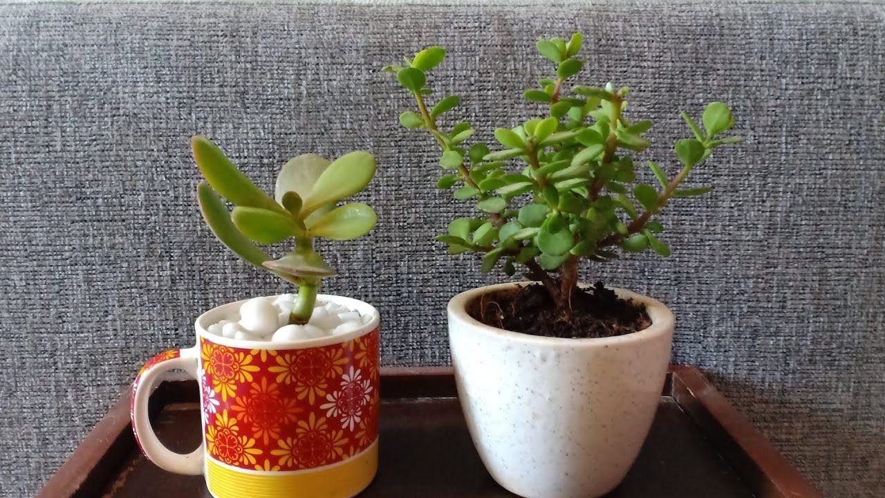 How To Propagate Jade Plant Jade Plant Vs Elephant Bush Jade Plants Jade Plant Care Propagating Plants