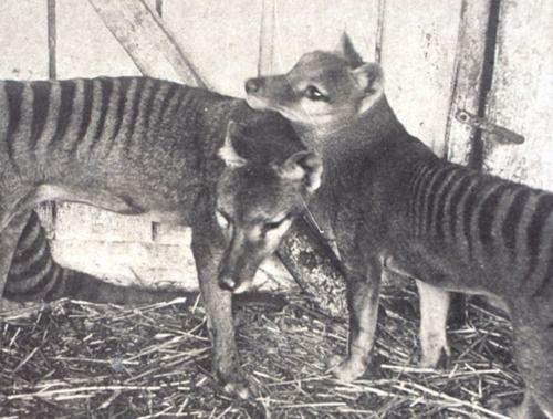 thylacine   Mammalia- Marsupials   Tasmanian tiger ...